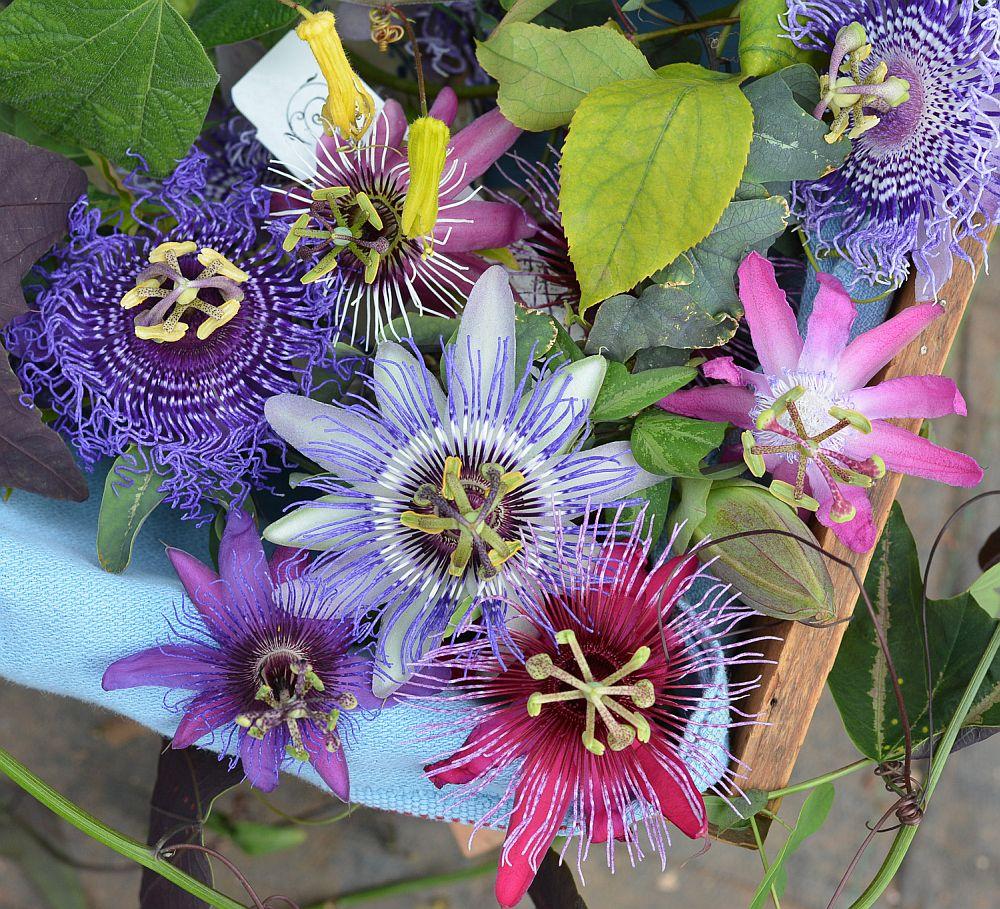 adelaparvu.com despre Florea Pasiunii, Passiflora incarnata, Text Carli Marian (14)