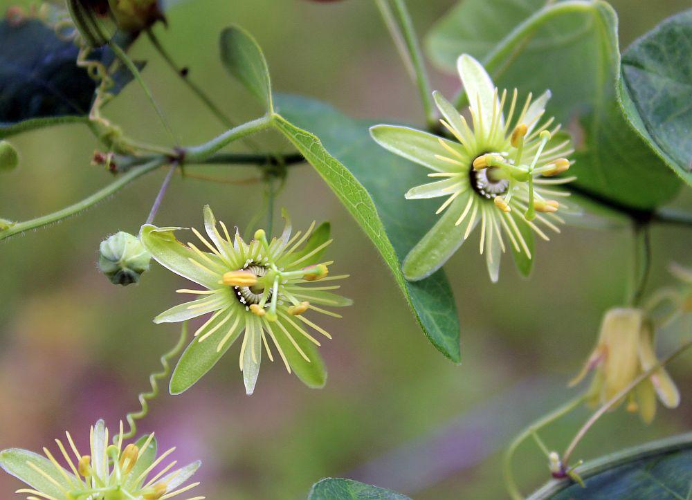 adelaparvu.com despre Florea Pasiunii, Passiflora incarnata, Text Carli Marian (17)