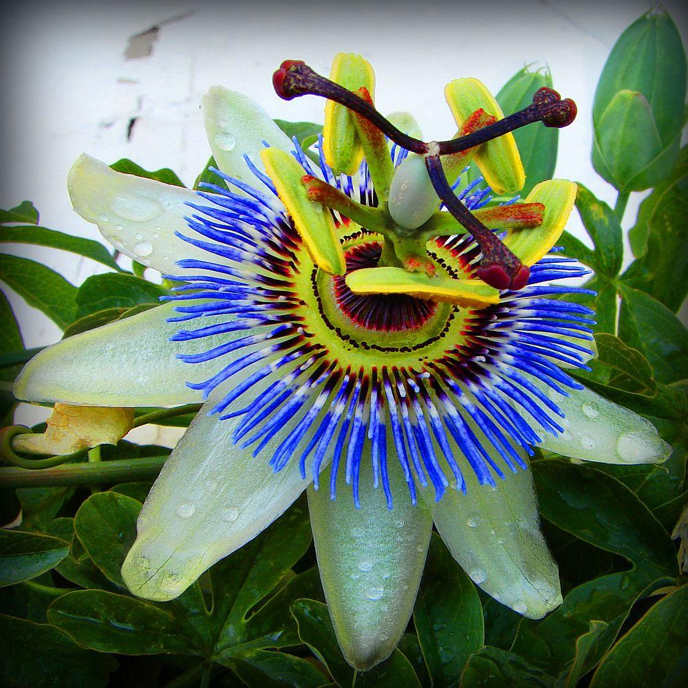 adelaparvu.com despre Florea Pasiunii, Passiflora incarnata, Text Carli Marian (19)