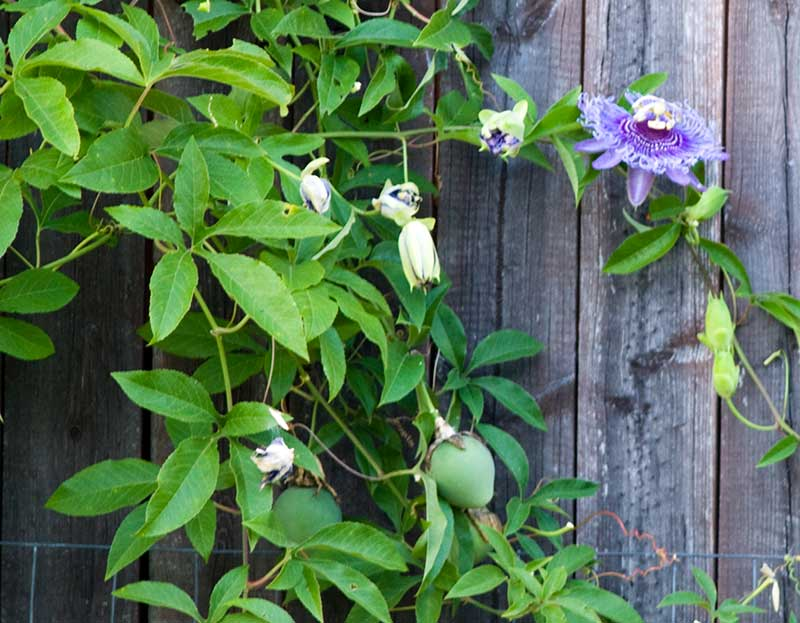 adelaparvu.com despre Florea Pasiunii, Passiflora incarnata, Text Carli Marian (2)