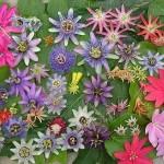 adelaparvu.com despre Florea Pasiunii, Passiflora incarnata, Text Carli Marian (3)