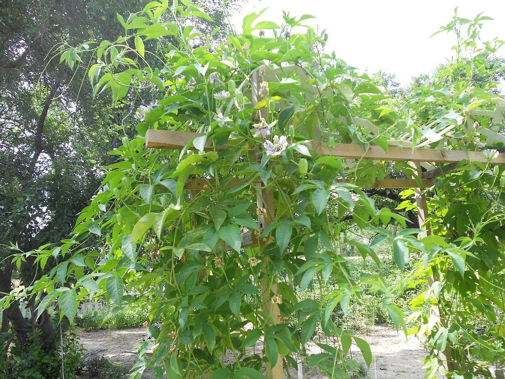 adelaparvu.com despre Florea Pasiunii, Passiflora incarnata, Text Carli Marian (5)