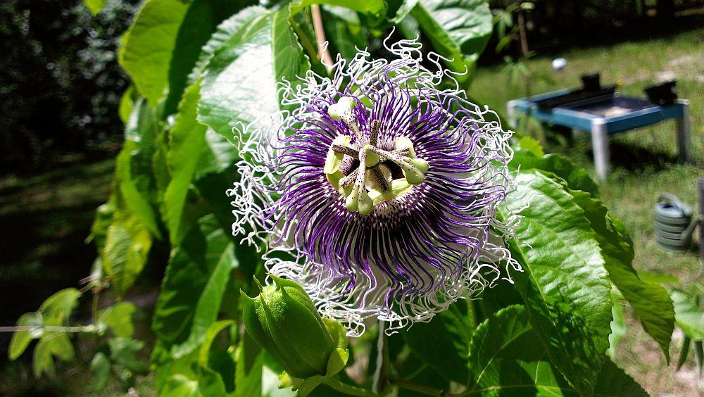 adelaparvu.com despre Florea Pasiunii, Passiflora incarnata, Text Carli Marian (8)