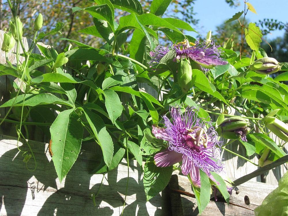 adelaparvu.com despre Florea Pasiunii, Passiflora incarnata, Text Carli Marian (9)