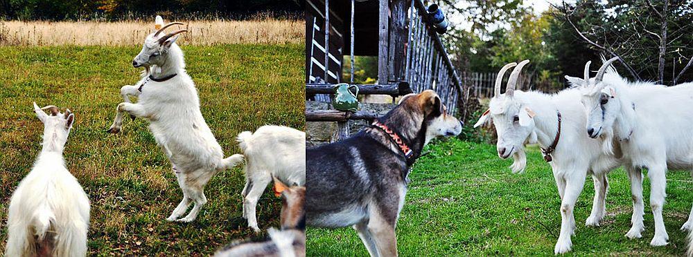 adelaparvu.com despre Jola care vrea sa salveze caprele carpatine (3)