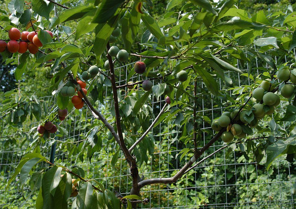 adelaparvu.com despre pomul cu 40 de fructe diferite creat de Sam Van Aken , text Carli Marian(16)