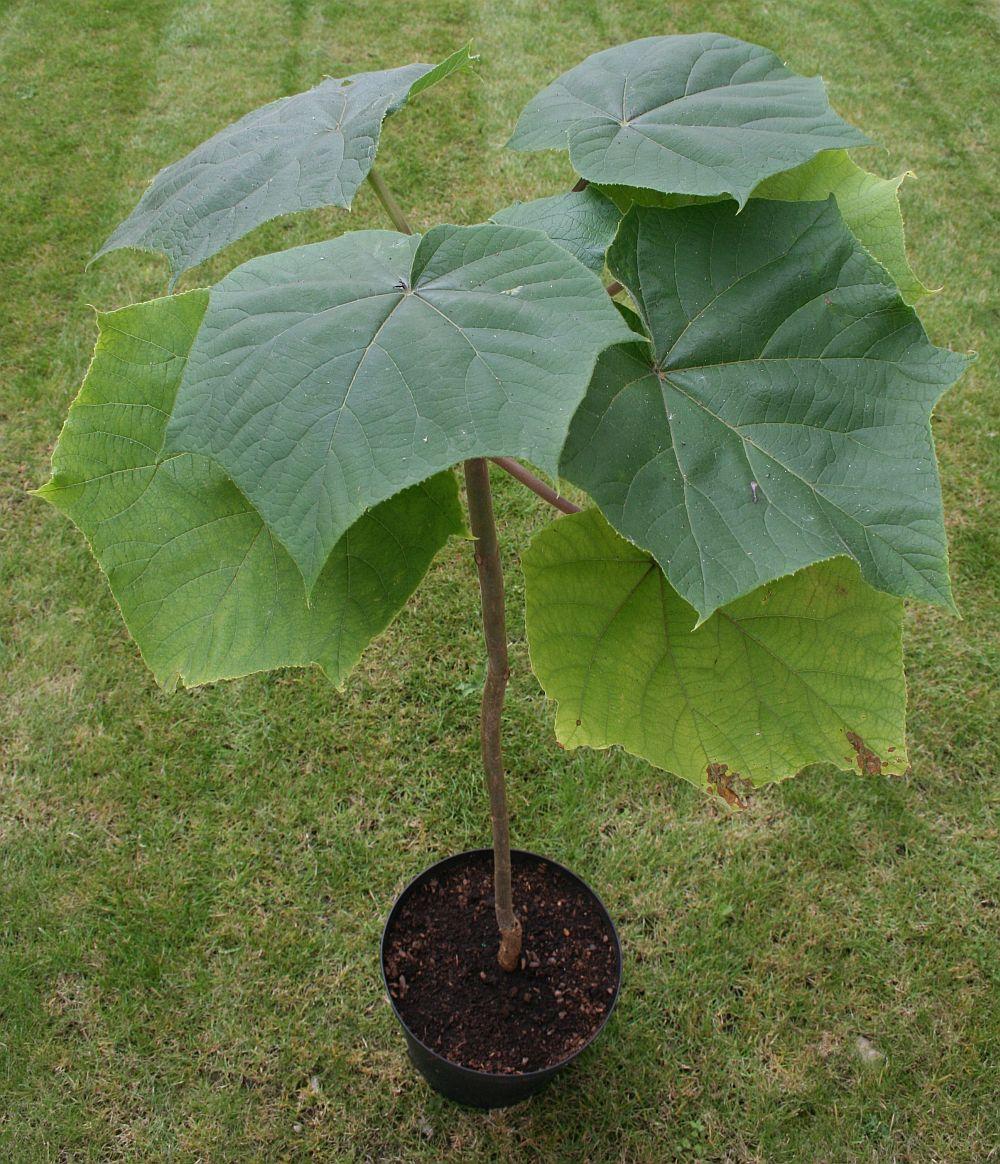 adelaparvu.com despre arborele minune Paulownia, arborele care creste 5 metri pe an, Text Carli Marian (6)
