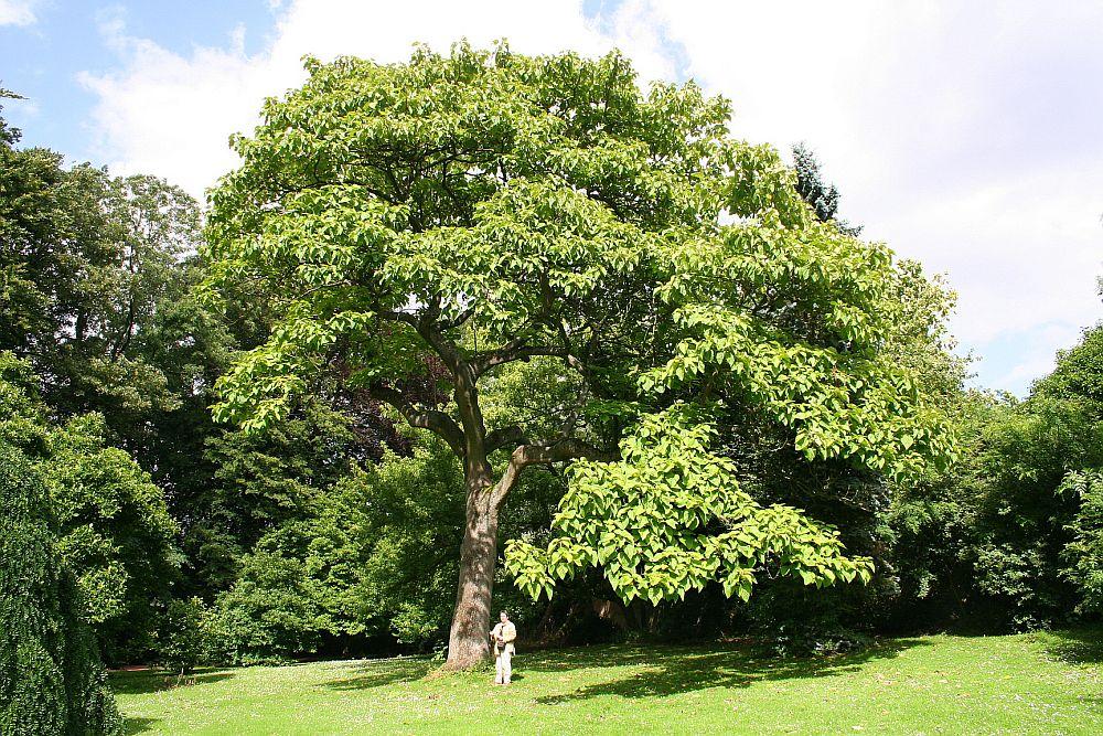 adelaparvu.com despre arborele minune Paulownia, arborele care creste 5 metri pe an, Text Carli Marian (7)