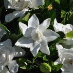 adelaparvu.com despre ingrijirea plantei Gardenia, Text Carli Marian (8)
