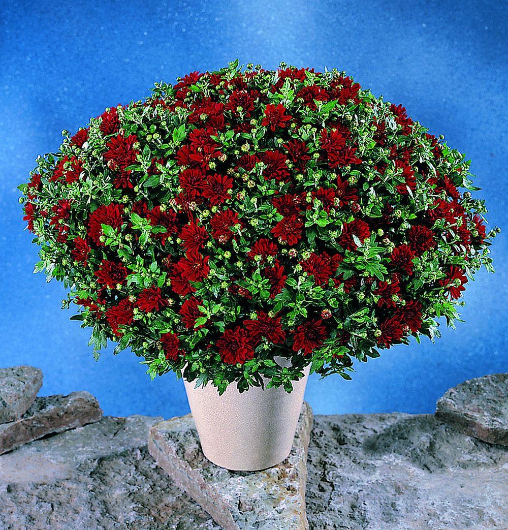 adelaparvu.com despre crinzantema la ghiveci, chrysanthemum, text Carli Marian (10)