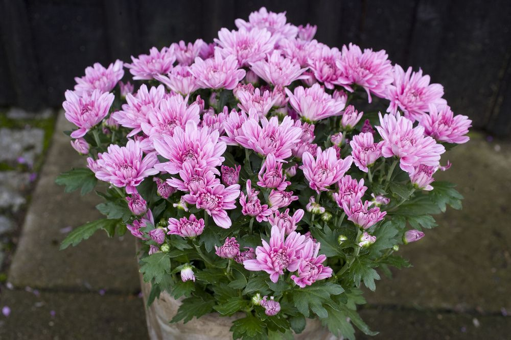 adelaparvu.com despre crinzantema la ghiveci, chrysanthemum, text Carli Marian (12)