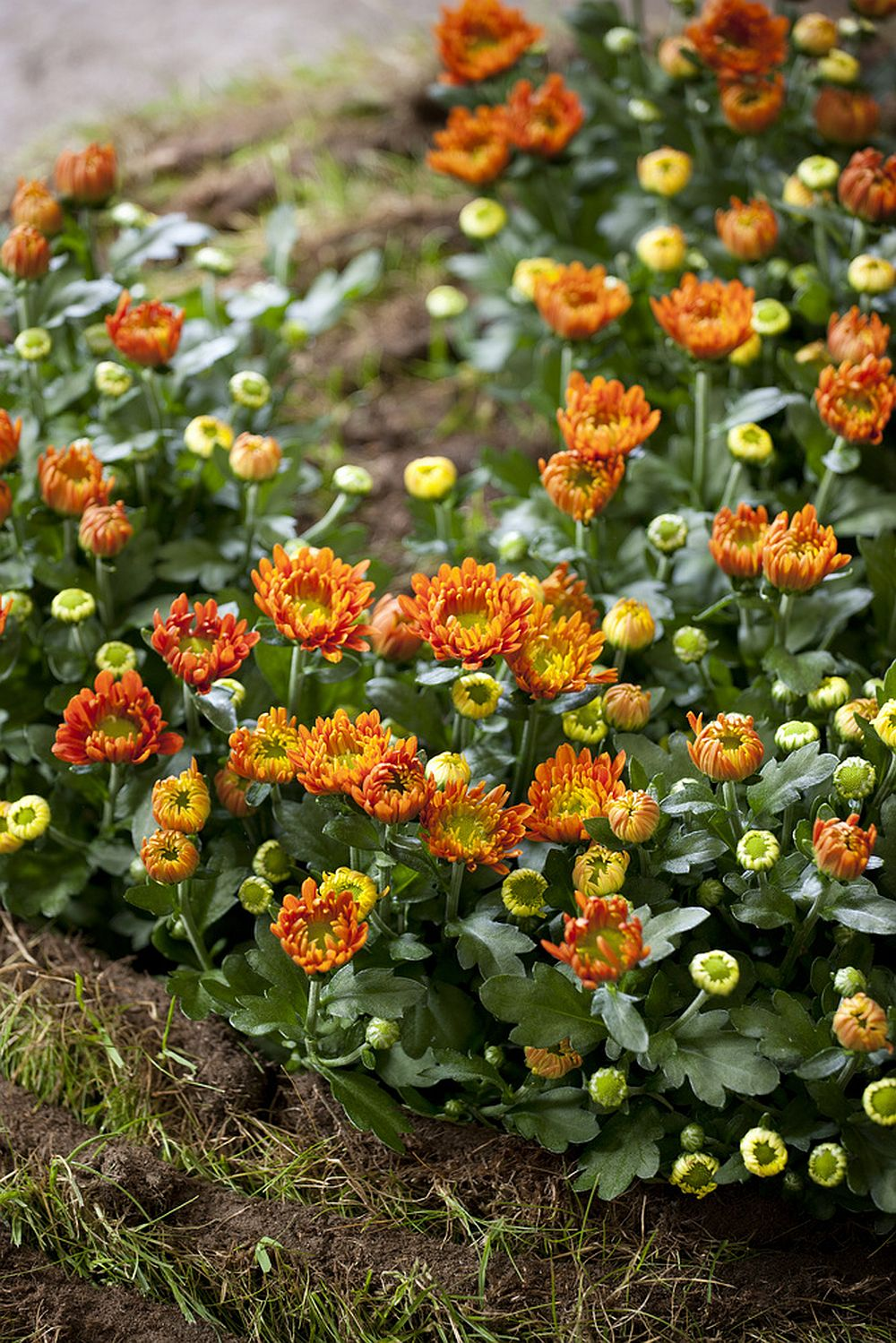 adelaparvu.com despre crinzantema la ghiveci, chrysanthemum, text Carli Marian (13)
