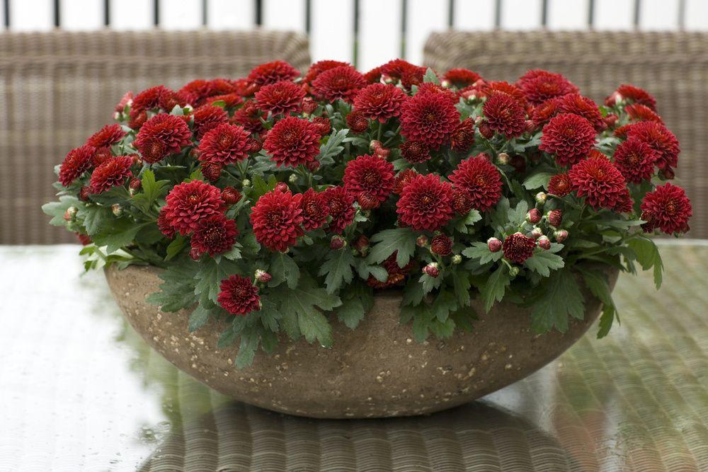 adelaparvu.com despre crinzantema la ghiveci, chrysanthemum, text Carli Marian (5)