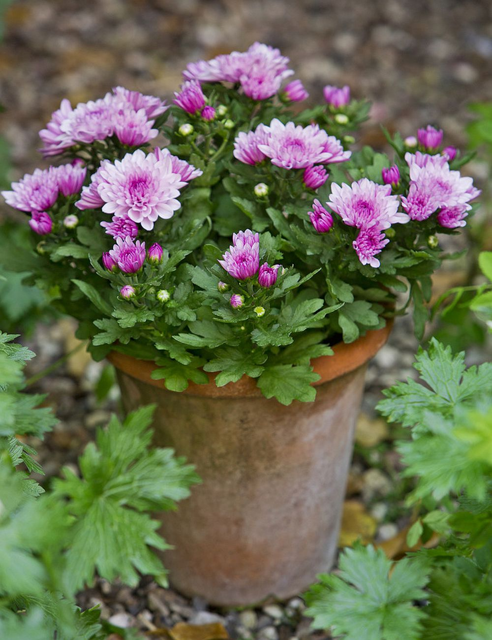adelaparvu.com despre crinzantema la ghiveci, chrysanthemum, text Carli Marian (6)