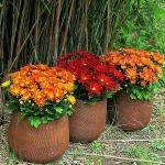 adelaparvu.com despre crinzantema la ghiveci, chrysanthemum, text Carli Marian (8)