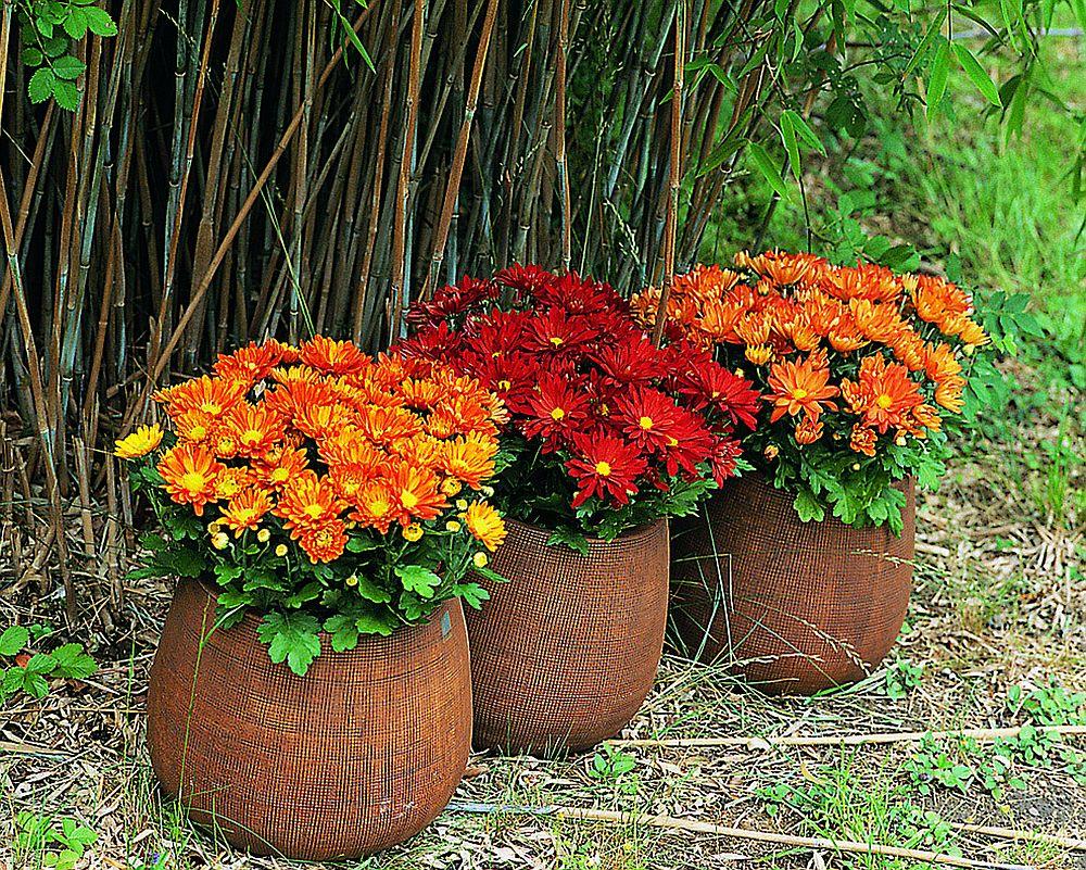 Crizantema La Ghiveci Află Cum Trebuie Să O îngrijești Ca