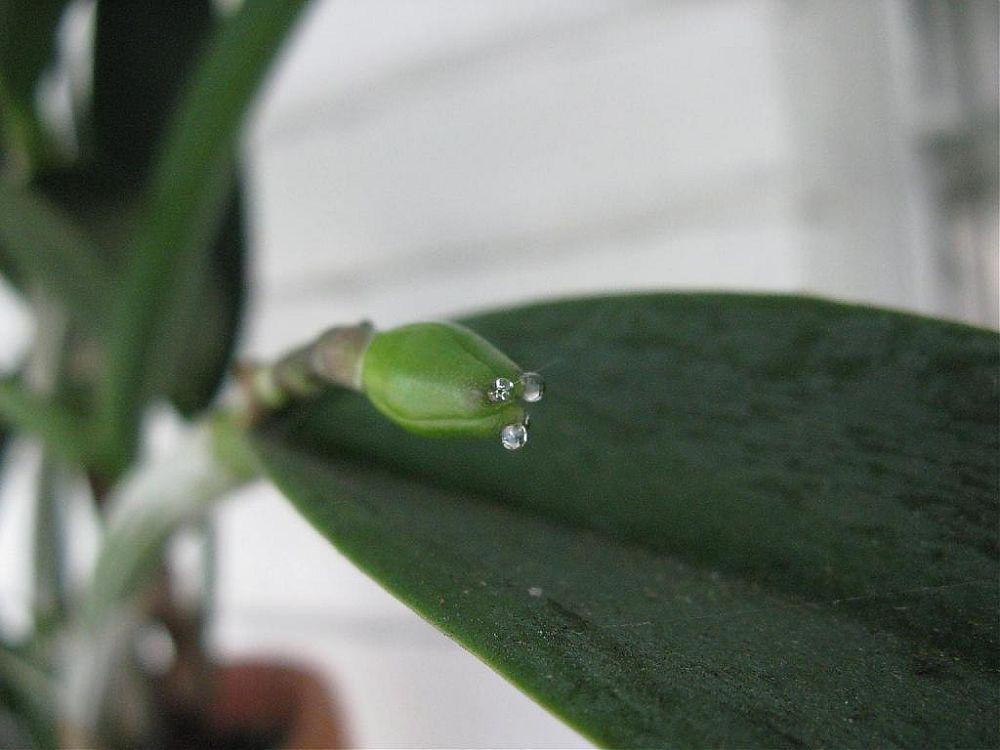 adelaparvu.com despre picaturi lipicioase pe orhidee, Text Carli Marian, in foto mierea orhideelor (1)