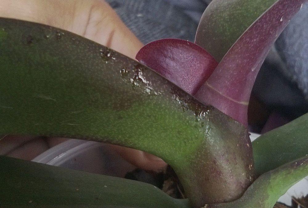 adelaparvu.com despre picaturi lipicioase pe orhidee, Text Carli Marian, in foto picaturi lipicioase produse de daunatori (3)