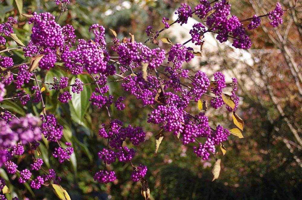 adelaparvu.com despre Callicarpa, arbustul cu fructe mov, Text Carli Marian (4)