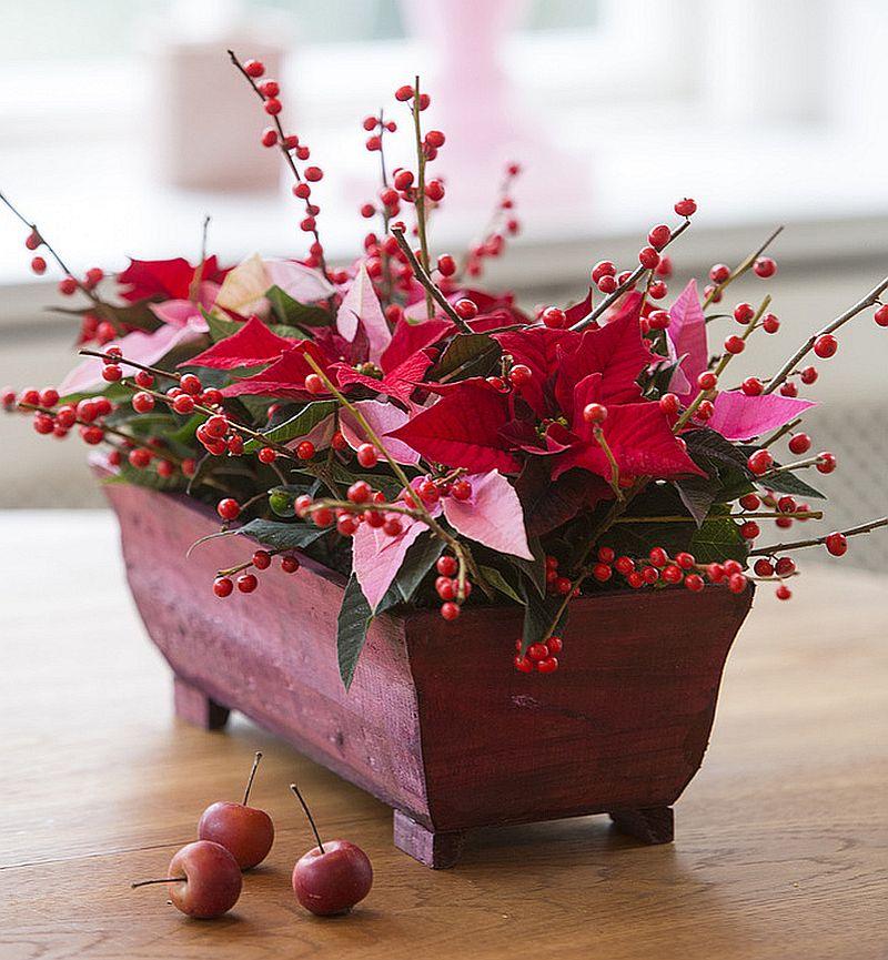adelaparvu.com despre sfaturi pentru Steaua Crăciunului, Euphorbia pulcherrima, Foto Floradania, Text Carli Marian (1)