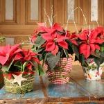 adelaparvu.com despre sfaturi pentru Steaua Crăciunului, Euphorbia pulcherrima, Foto Floradania, Text Carli Marian (11)