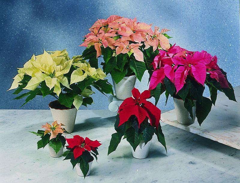 adelaparvu.com despre sfaturi pentru Steaua Crăciunului, Euphorbia pulcherrima, Foto Floradania, Text Carli Marian (4)