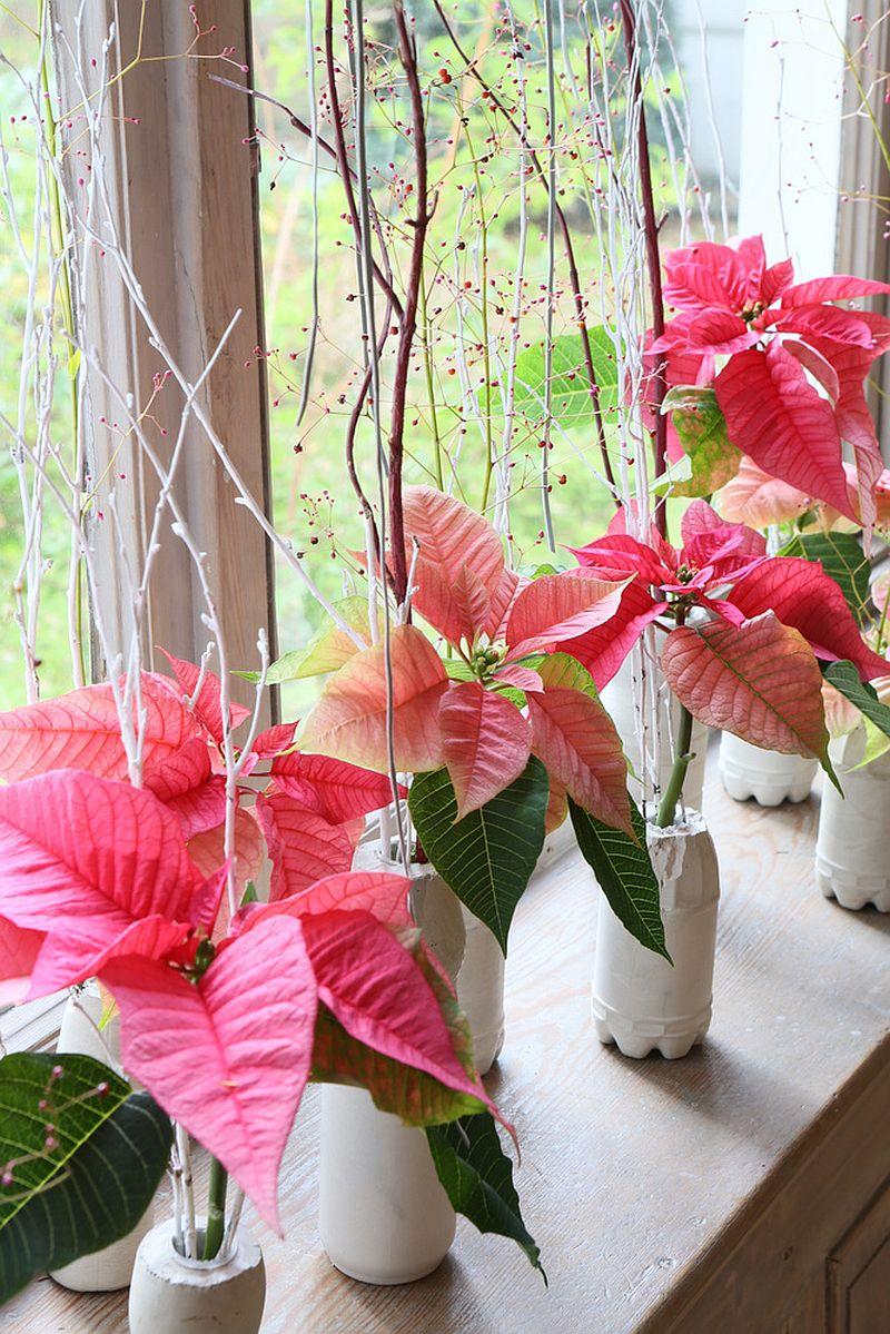 adelaparvu.com despre sfaturi pentru Steaua Crăciunului, Euphorbia pulcherrima, Foto Floradania, Text Carli Marian (5)