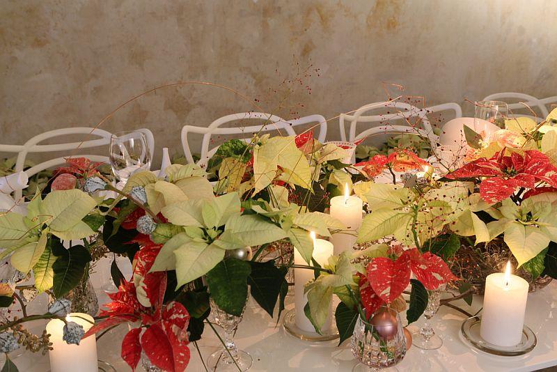 adelaparvu.com despre sfaturi pentru Steaua Crăciunului, Euphorbia pulcherrima, Foto Floradania, Text Carli Marian (6)
