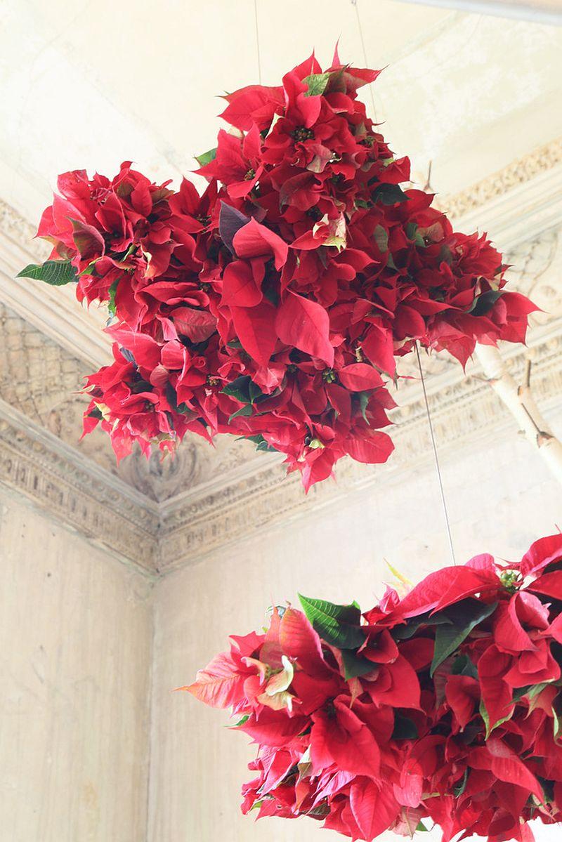 adelaparvu.com despre sfaturi pentru Steaua Crăciunului, Euphorbia pulcherrima, Foto Floradania, Text Carli Marian (7)