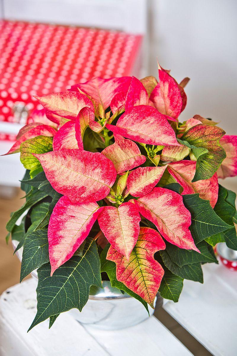 adelaparvu.com despre sfaturi pentru Steaua Crăciunului, Euphorbia pulcherrima, Foto Floradania, Text Carli Marian (8)