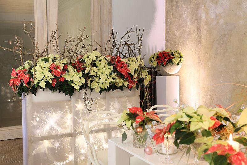 adelaparvu.com despre sfaturi pentru Steaua Crăciunului, Euphorbia pulcherrima, Foto Floradania, Text Carli Marian (9)