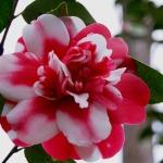 adelaparvu.com despre Camellia japonica, trandafirul japonez, Camelia, text Carli Marian (3)