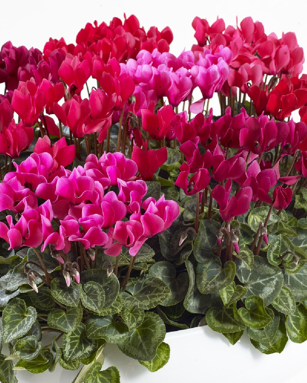 adelaparvu.com despre Cyclamen sau violeta de Alpi, Text Carli Marian, Foto Floradania (11)