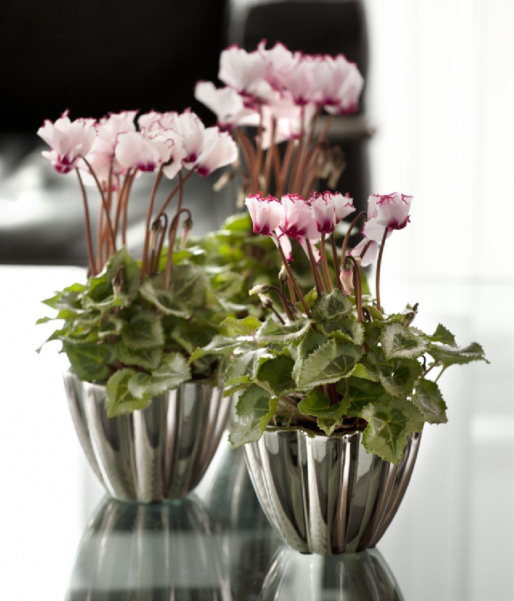 adelaparvu.com despre Cyclamen sau violeta de Alpi, Text Carli Marian, Foto Floradania (2)