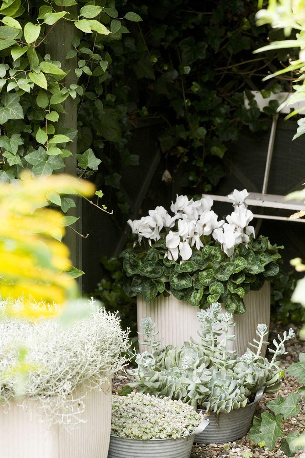 adelaparvu.com despre Cyclamen sau violeta de Alpi, Text Carli Marian, Foto Floradania (3)