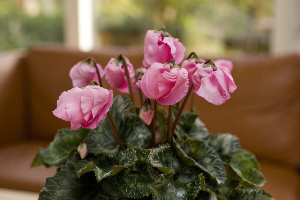 adelaparvu.com despre Cyclamen sau violeta de Alpi, Text Carli Marian, Foto Floradania (5)
