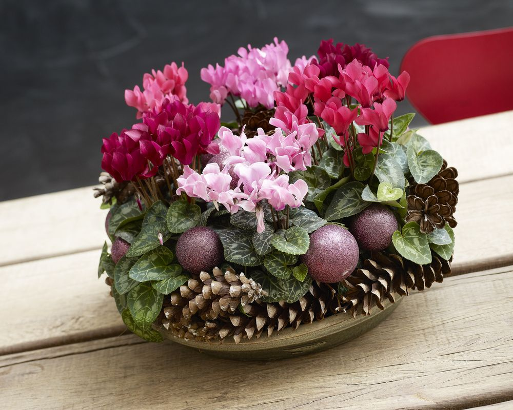 adelaparvu.com despre Cyclamen sau violeta de Alpi, Text Carli Marian, Foto Floradania (7)