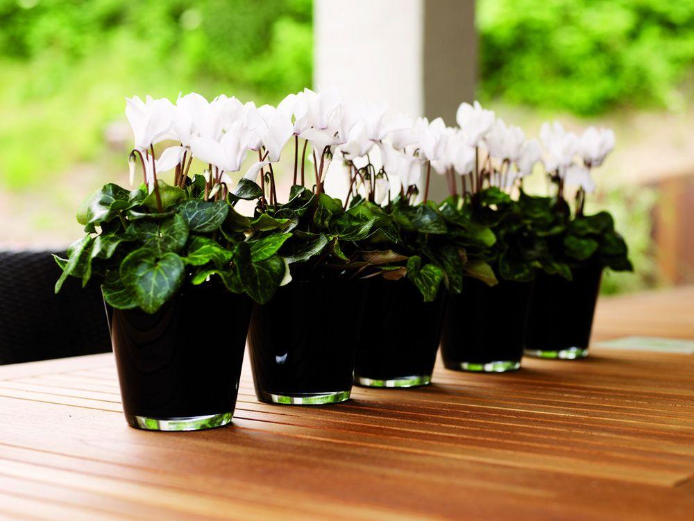 adelaparvu.com despre Cyclamen sau violeta de Alpi, Text Carli Marian, Foto Floradania (8)