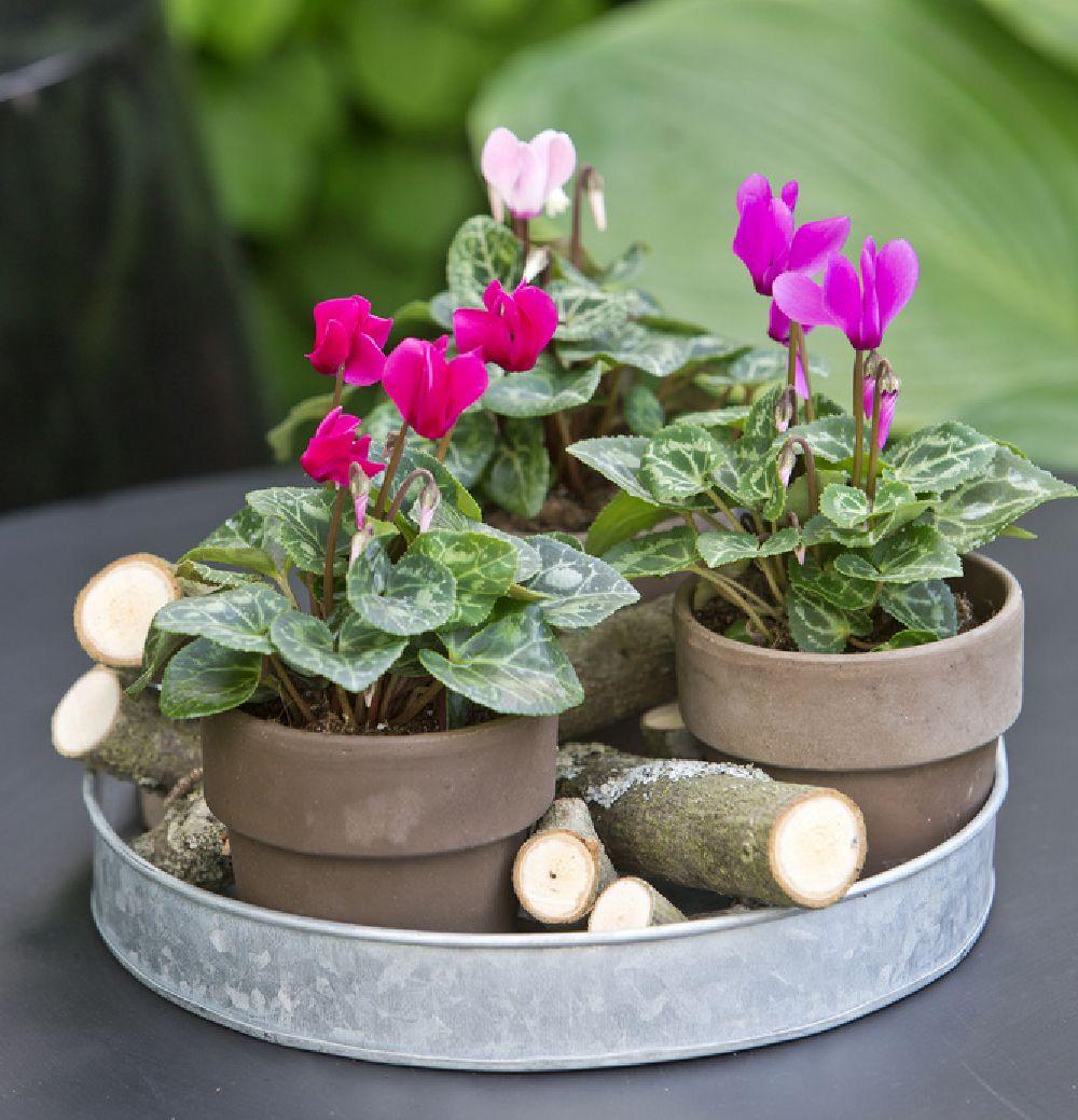 adelaparvu.com despre Cyclamen sau violeta de Alpi, Text Carli Marian, Foto Floradania (9)