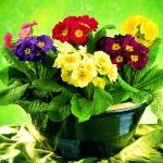 adelaparvu.com despre Primula, Text Carli Marian, Foto Floradania, Primula veris (1)