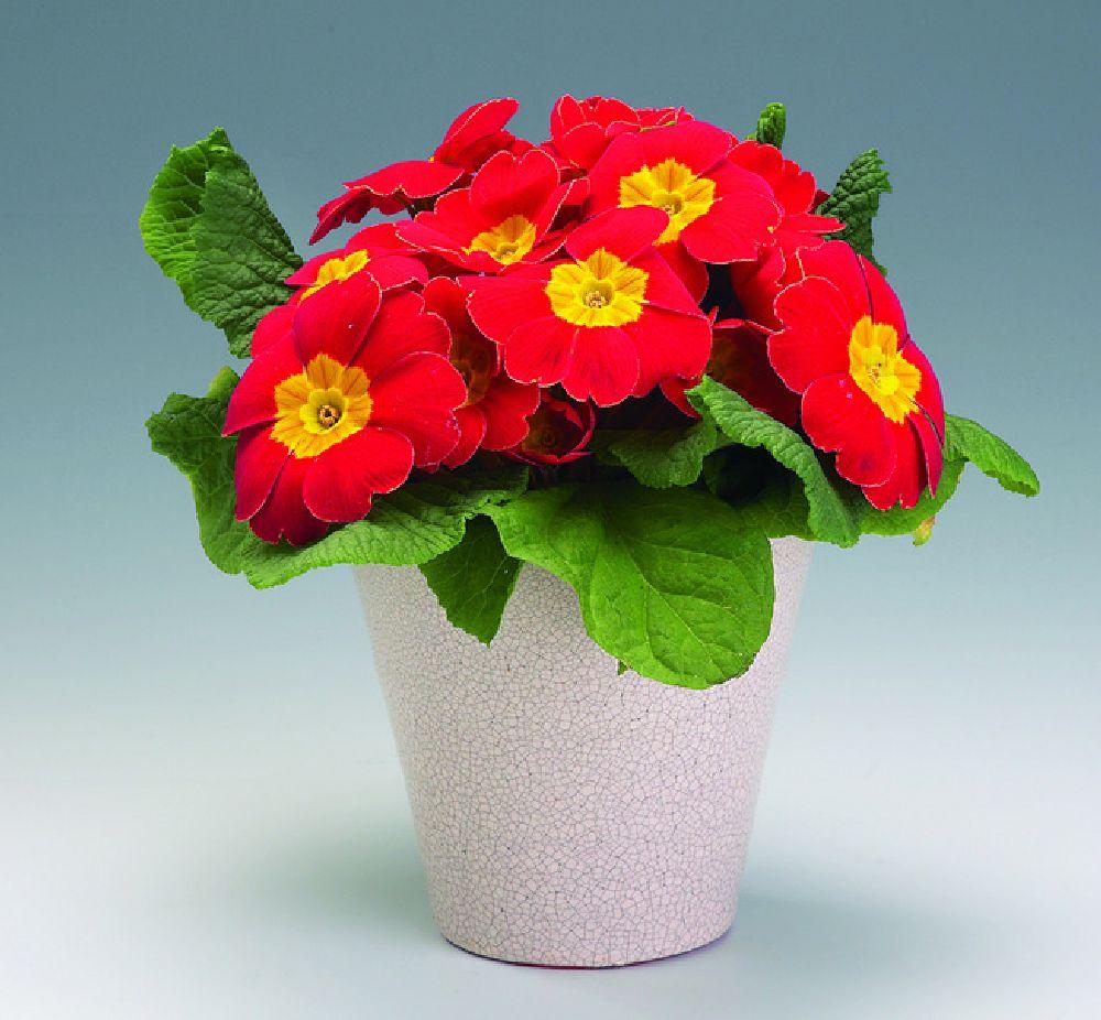 adelaparvu.com despre Primula, Text Carli Marian, Foto Floradania, Primula vulgaris (10)