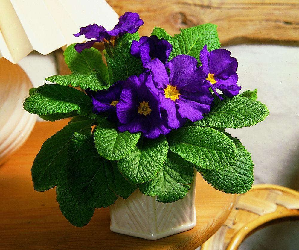 adelaparvu.com despre Primula, Text Carli Marian, Foto Floradania, Primula vulgaris (12)