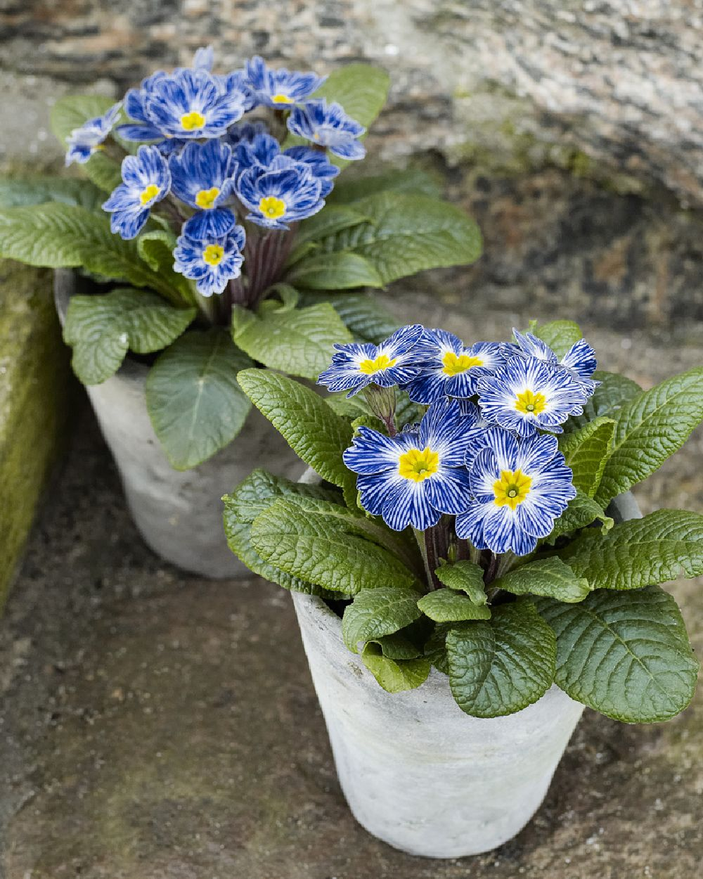 adelaparvu.com despre Primula, Text Carli Marian, Foto Floradania, Primula vulgaris (2)