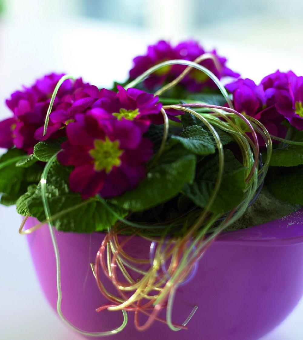 adelaparvu.com despre Primula, Text Carli Marian, Foto Floradania, Primula vulgaris (3)