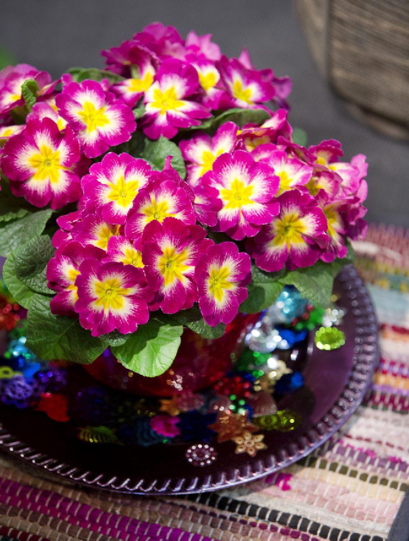adelaparvu.com despre Primula, Text Carli Marian, Foto Floradania, Primula vulgaris (4)