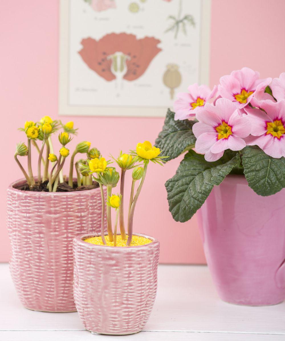 adelaparvu.com despre Primula, Text Carli Marian, Foto Floradania, Primula vulgaris (6)