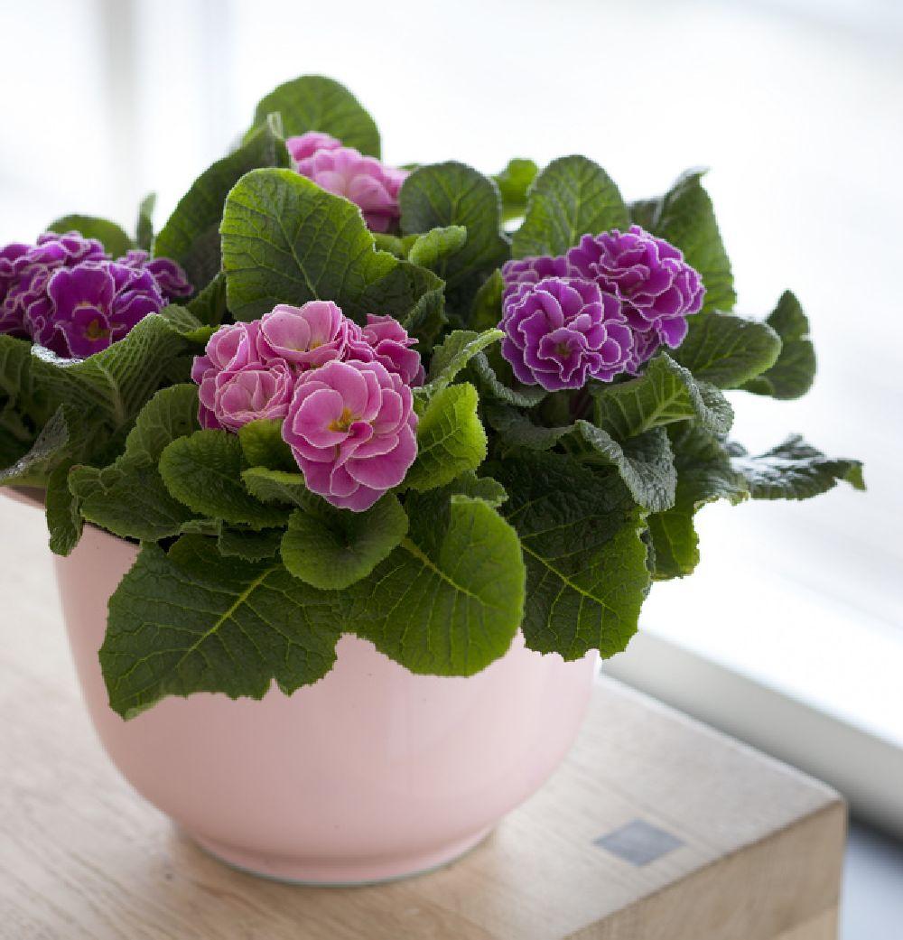 adelaparvu.com despre Primula, Text Carli Marian, Foto Floradania, Primula vulgaris (7)