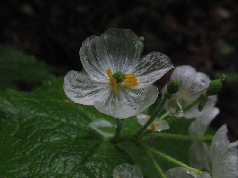 adelaparvu.com despre Diphylleia Grayi, Text Carli Marian (3)