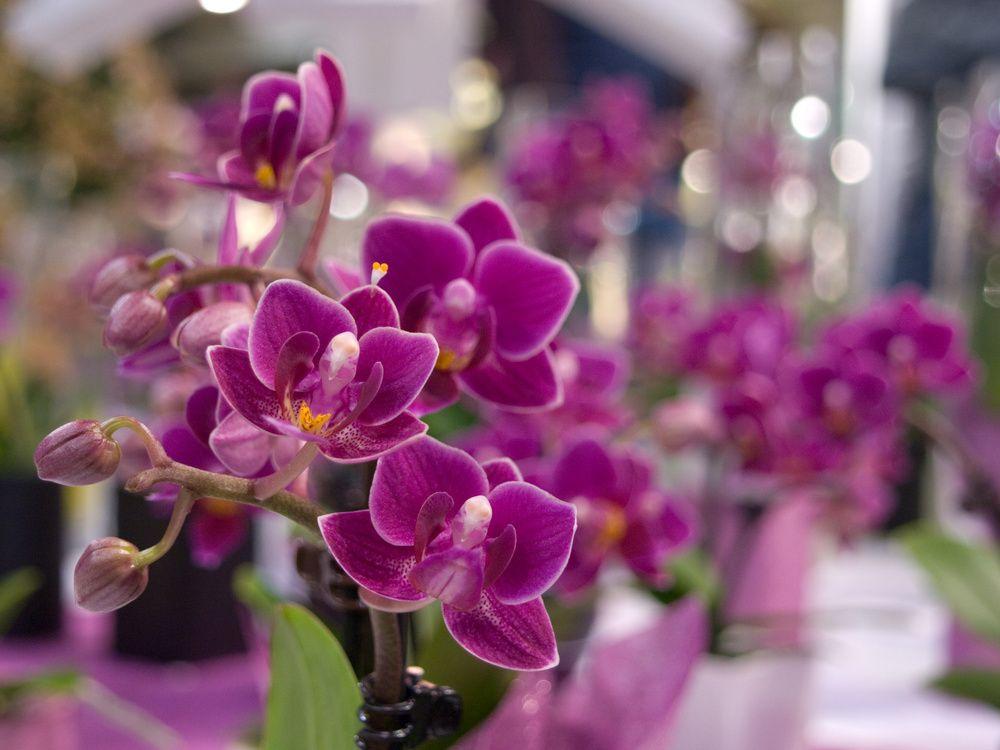 adelaparvu.com despre ingrijirea orhideei dupa ce se ofilesc florile, text Carli Marian, Foto Floradania (2)