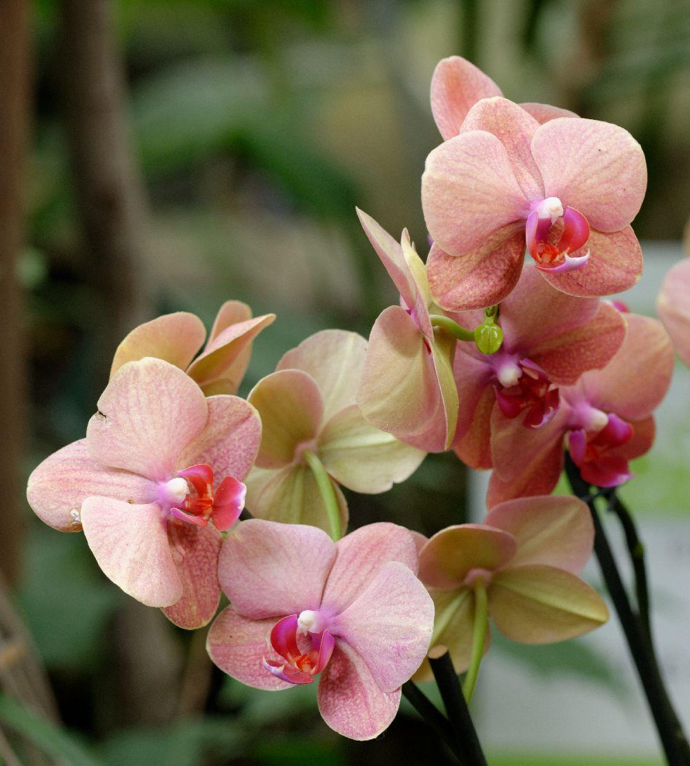 adelaparvu.com despre tratamentul pentru orhideea cu radacini putrezite si frunze ingalbenite, Text Carli Marian (10)